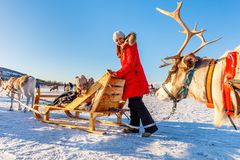 Reindeer safari. Family of mother and her daughter at reindeer safari on sunny winter day in Northern Norway royalty free stock photography