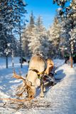 Reindeer safari in Finland. Reindeer safari in a winter forest in Finnish Lapland stock photos
