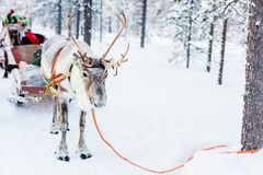 Reindeer safari in Finnish forest. Reindeer safari in a winter forest in Finnish Lapland royalty free stock images