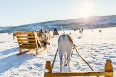 Reindeer safari. On sledge on sunny winter day in Northern Norway Royalty Free Stock Image