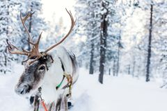 Reindeer safari on winter day. Reindeer safari in a winter forest in Finnish Lapland stock photography