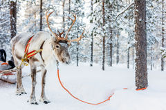 Reindeer safari. Reindeer in a winter forest in Finnish Lapland Royalty Free Stock Photo