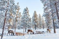 Reindeer safari Royalty Free Stock Photos