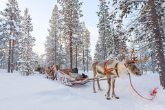 Reindeer safari. In a winter forest in Finnish Lapland Stock Image