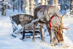 Reindeer safari Stock Photo