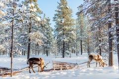 Reindeer safari Stock Photos