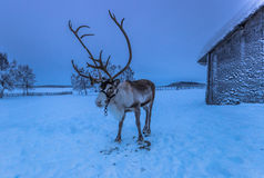 Reindeer in Sami Camp, Sweden. A reindeer in a Sami Camp, Sweden Stock Image