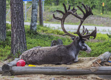 Reindeer. At the sandbox in Finnish Lapland stock photos