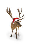 Reindeer with santa claus hat, isolated on whiteckground Royalty Free Stock Photos