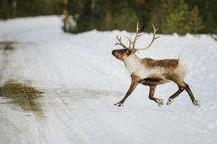 Reindeer in Scandinavia Royalty Free Stock Image