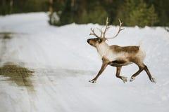 Reindeer in Scandinavia Royalty Free Stock Image
