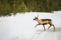 Reindeer in Scandinavia Royalty Free Stock Images