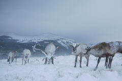 Reindeer in Scotland. Reindeer roaming free during a blizzard in the Cairngorm mountains, Scotland Stock Images