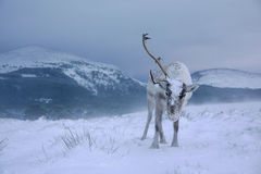 Reindeer in Scotland. Reindeer roaming free during a blizzard in the Cairngorm mountains, Scotland Royalty Free Stock Photo