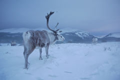 Reindeer in Scotland. Reindeer roaming free during a blizzard in the Cairngorm mountains, Scotland Royalty Free Stock Images