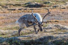 Christmas reindeer scratching his head. A reindeer scratching his head and watching to the camera - North Norway Stock Photos