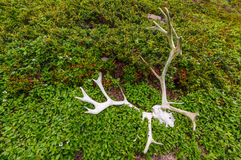 Reindeer scull and antlers. Caribou reindeer scull and antlers lays on the grass. Kola Peninsula. Russia royalty free stock photos