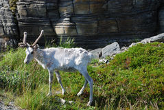 Reindeer shedding of hair under the rock. Royalty Free Stock Photo