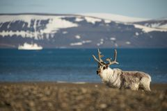 Reindeer on shingle beach with ship behind Stock Photos