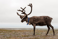Reindeer. Side view of a reindeer in  tundra Stock Photos