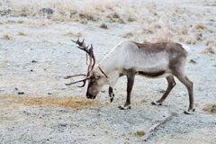 Reindeer. A single reindeer searching for moss to eat. Shedding skin from antlers Royalty Free Stock Photo