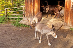 Reindeer in Skansen, Sweden Royalty Free Stock Images