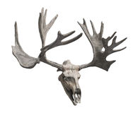 Reindeer skull and antlers isolated. Stock Photo