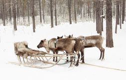 Reindeer sledding and sleigh  . Stock Photography