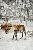 Reindeer in sledge shaking Royalty Free Stock Photo