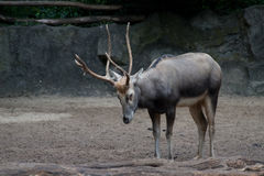 Reindeer is sleeping Stock Photography