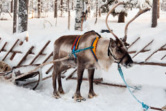 Reindeer and sleigh Stock Image
