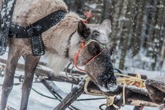 Reindeer and sleigh from Karelia royalty free stock image