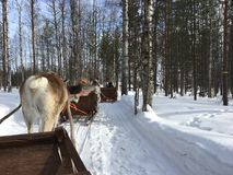 Reindeer sleigh ride in Finnish Lapland at the end of March 2018. In Lapland reindeer husbandry is an important livelihood. Reindeer are semi wild animals. They stock photography