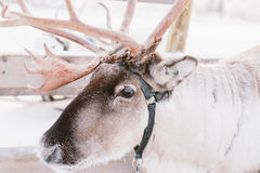 Reindeer Sleigh Ride in Lapland Stock Photo