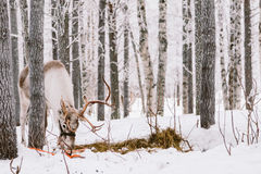 Reindeer Sleigh Ride in Lapland Royalty Free Stock Photography