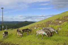 Reindeer on slopes of hills Royalty Free Stock Photography