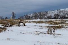 Reindeer stock images