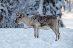 Reindeer in snow Royalty Free Stock Photography