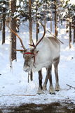 Reindeer in the snow Royalty Free Stock Image