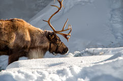 Reindeer in the snow. A reindeer stops to eat some snow Stock Image
