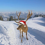 Reindeer on snowy trail in the mountains Stock Photography