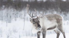 REINDEER. SOME reindeer in the wild in norway stock images