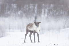 REINDEER. SOME reindeer in the wild in norway stock photography