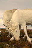 Reindeer Squabbling. Reindeer cows squabbling over food in the Cairngorm mountains, Scotland Royalty Free Stock Photos