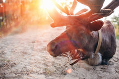 Reindeer, Stag, Eating, Relaxing in the Forest, Wild. sunset Royalty Free Stock Photography