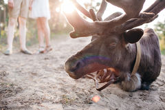 Reindeer, Stag, Eating, Relaxing in the Forest, Wild. sunset Stock Photo