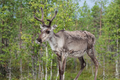 Reindeer stag with exceptionally long antlers.  royalty free stock photo