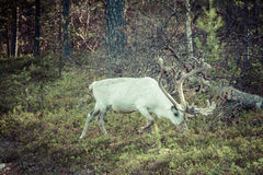 Reindeer stag with exceptionally long antlers.  royalty free stock photos