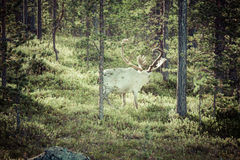 Reindeer stag with exceptionally long antlers.  stock image