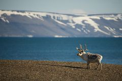 Reindeer standing on shore with mountains behind Royalty Free Stock Photos